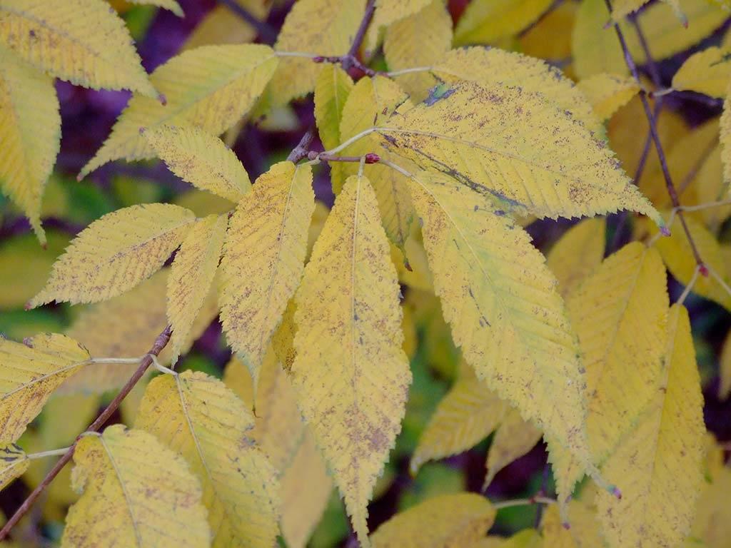 ACER - carpinifolium -