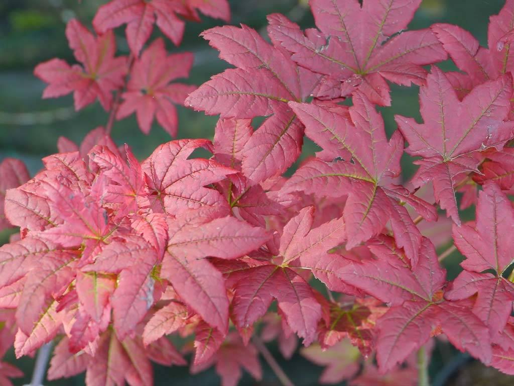 ACER - circinatum - Burgundy Jewel