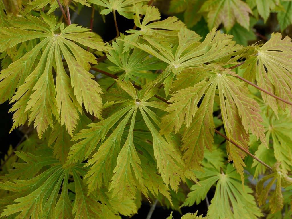 ACER - japonicum - Aconitifolium (=A.j.´Mai kujaku´)