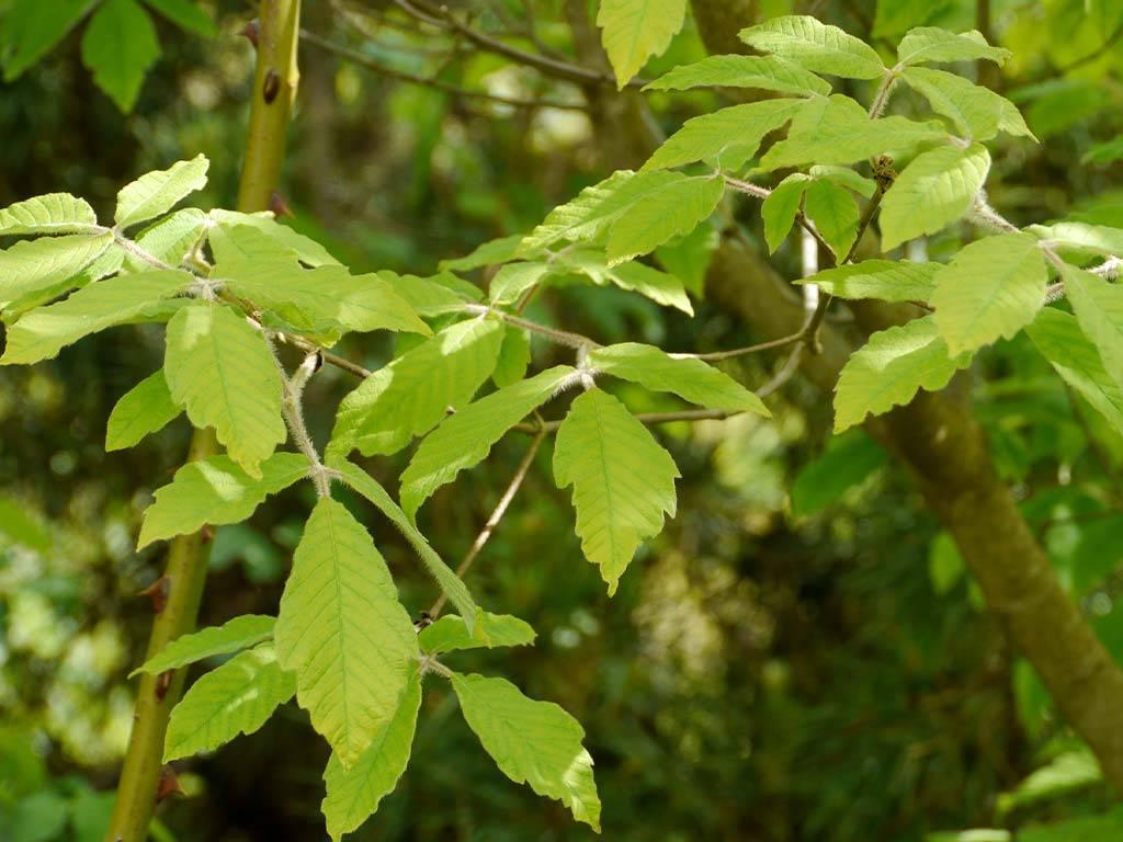 ACER - maximowiczianum - (= A. nikoense)