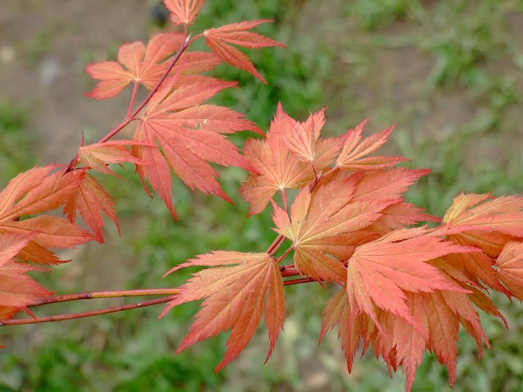 ACER - palmatum - Akane