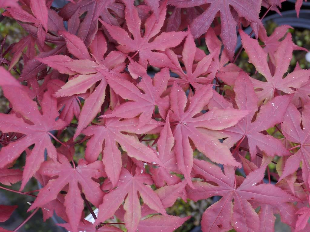 ACER - palmatum - Akegarasu