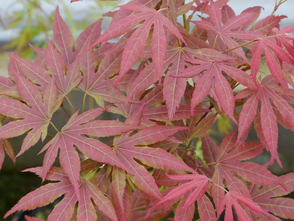 ACER - palmatum - Akishino