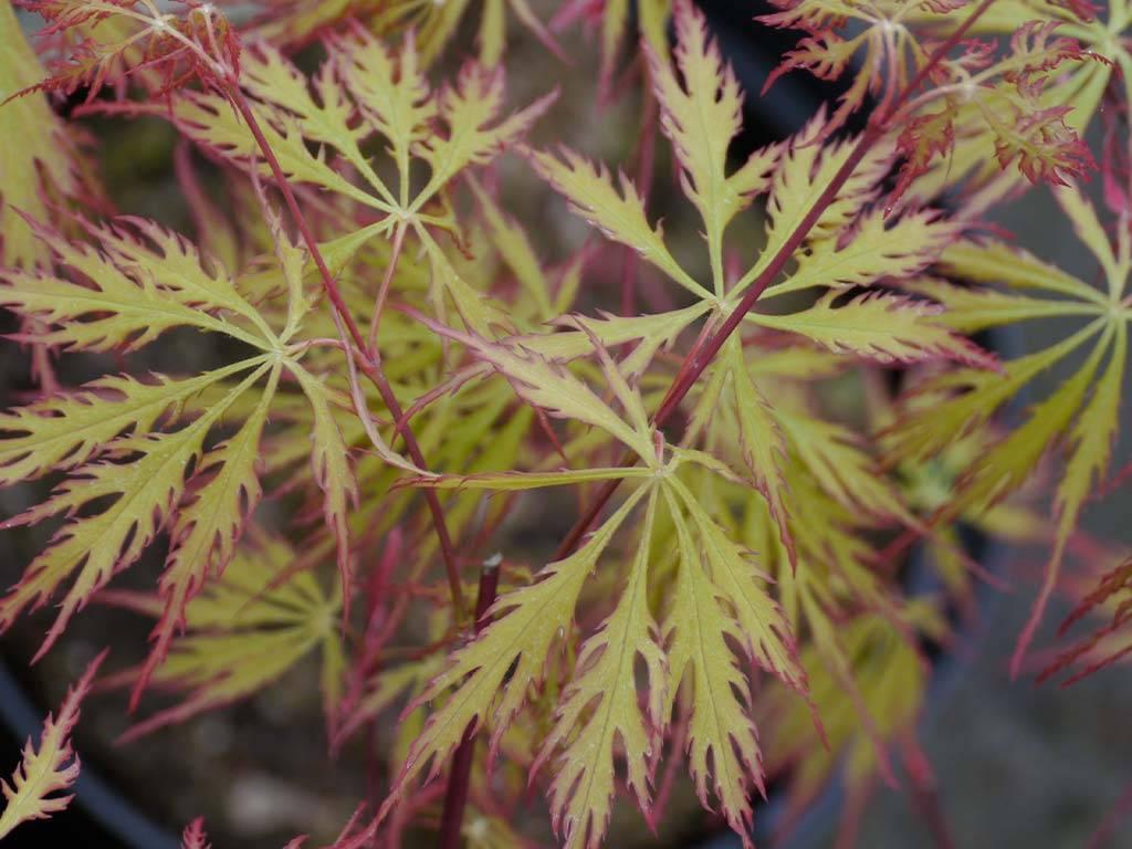 ACER - palmatum - Alloys