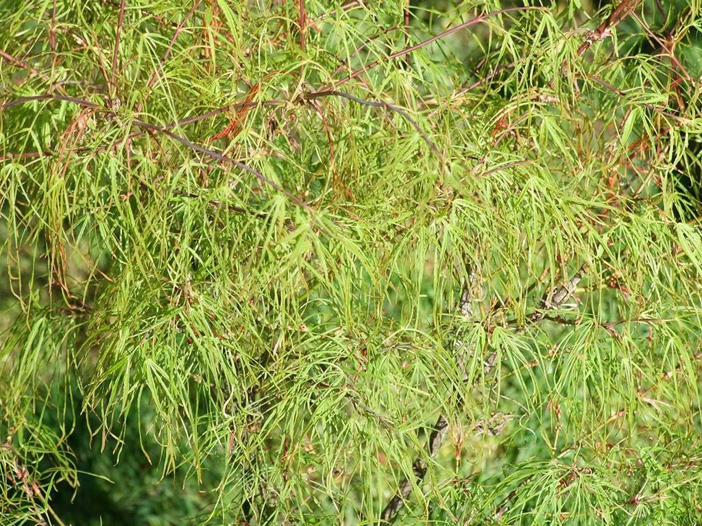 ACER - palmatum - Aoyagi gawa