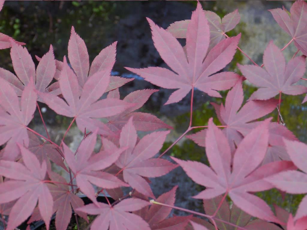 ACER - palmatum - Attraction (= Atrop. Superbum)