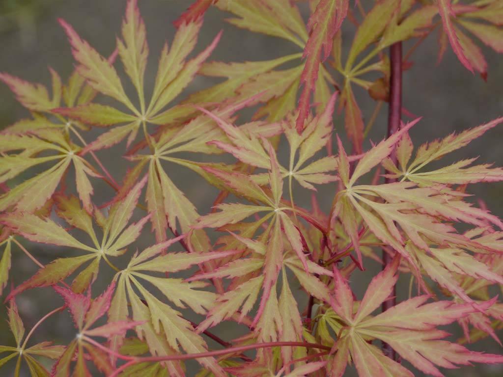 ACER - palmatum - Autumn Fire