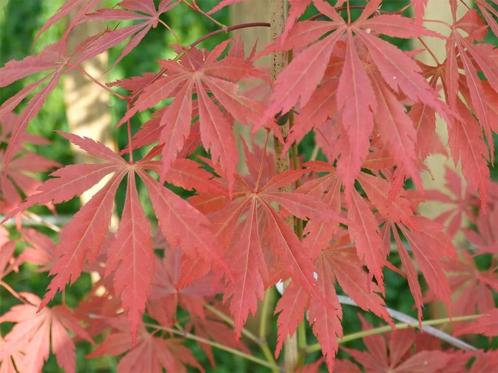 ACER - palmatum - Azuma murasaki