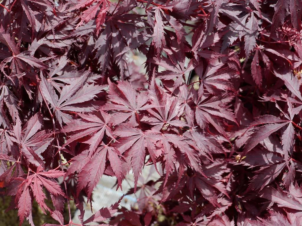 ACER - palmatum - Black Lace