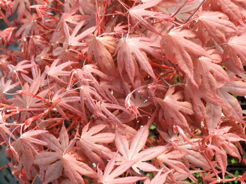ACER - palmatum - Bloodgood
