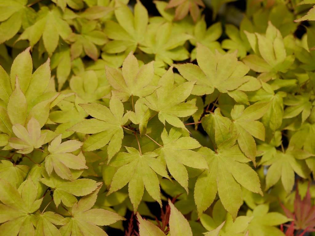 ACER - palmatum - Bob´s Big Green
