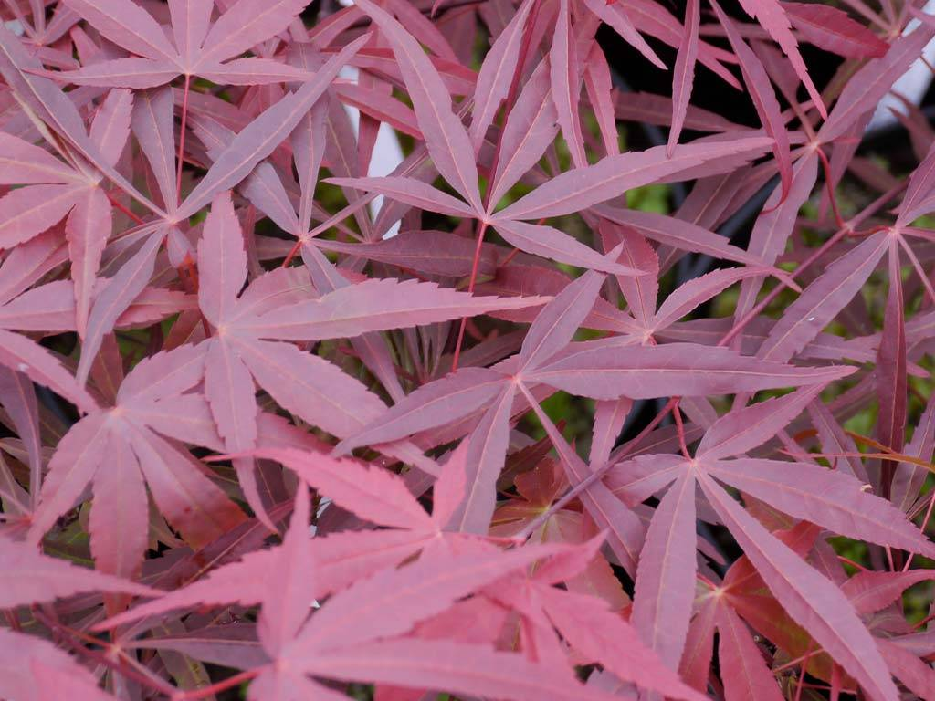 ACER - palmatum - Beni Otake