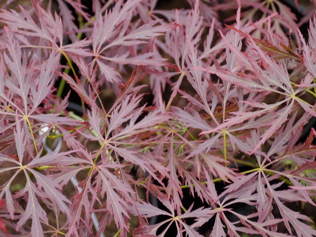 ACER - palmatum - Brocade