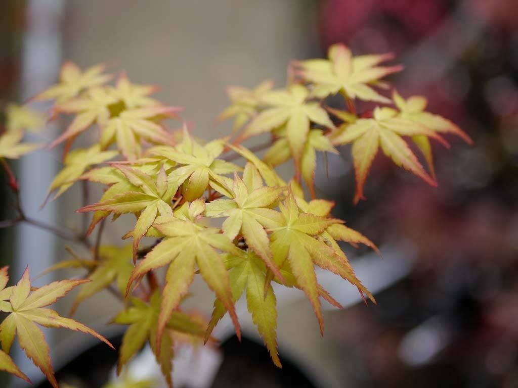 ACER - palmatum - Beni tsukasa