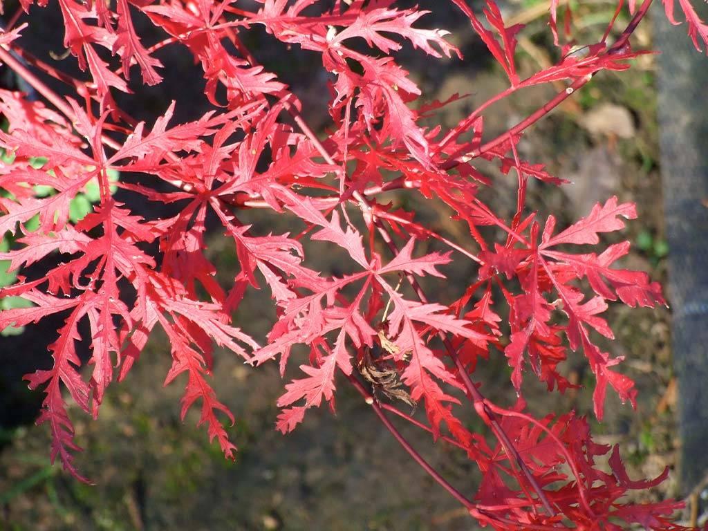 ACER - palmatum - Beni tsukasa shidare
