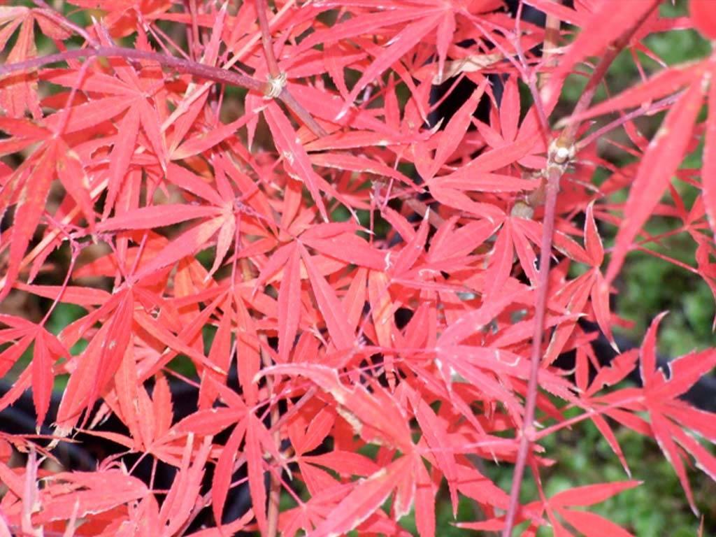 ACER - palmatum - Beni ubi gohon