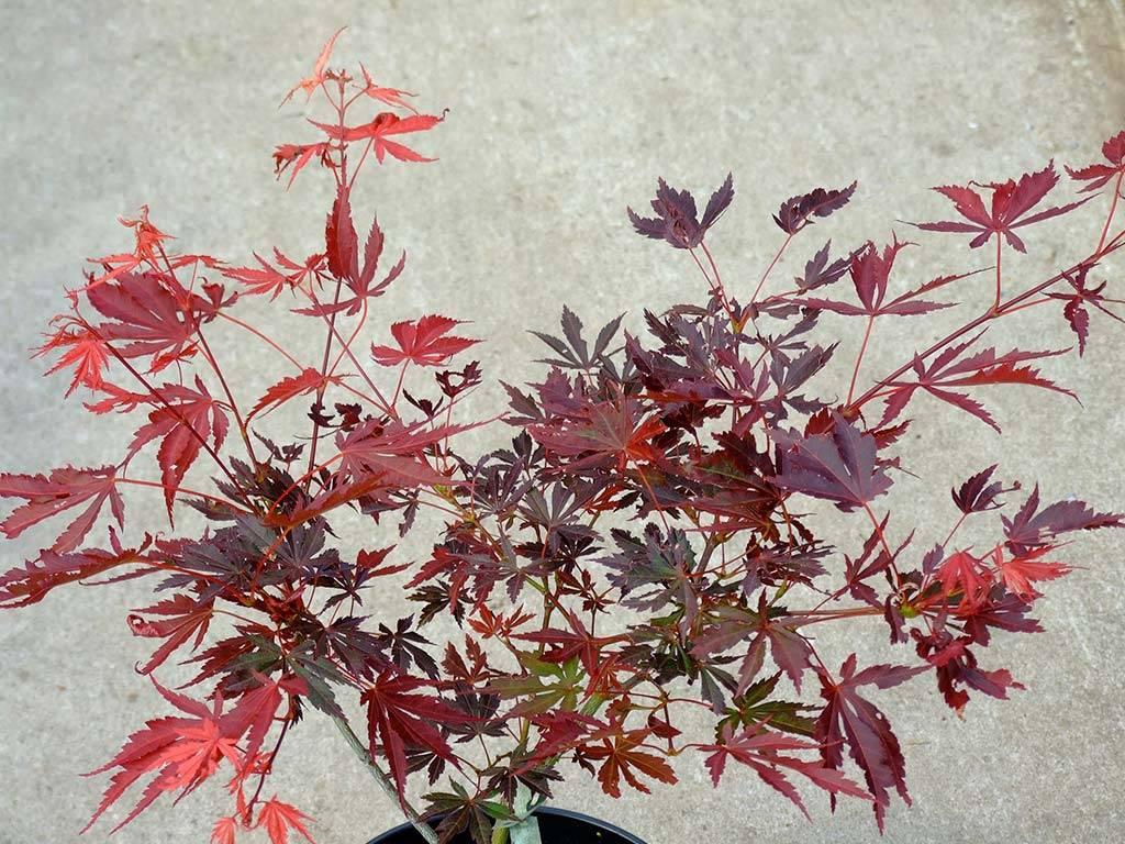 ACER - palmatum - Bujo Ji