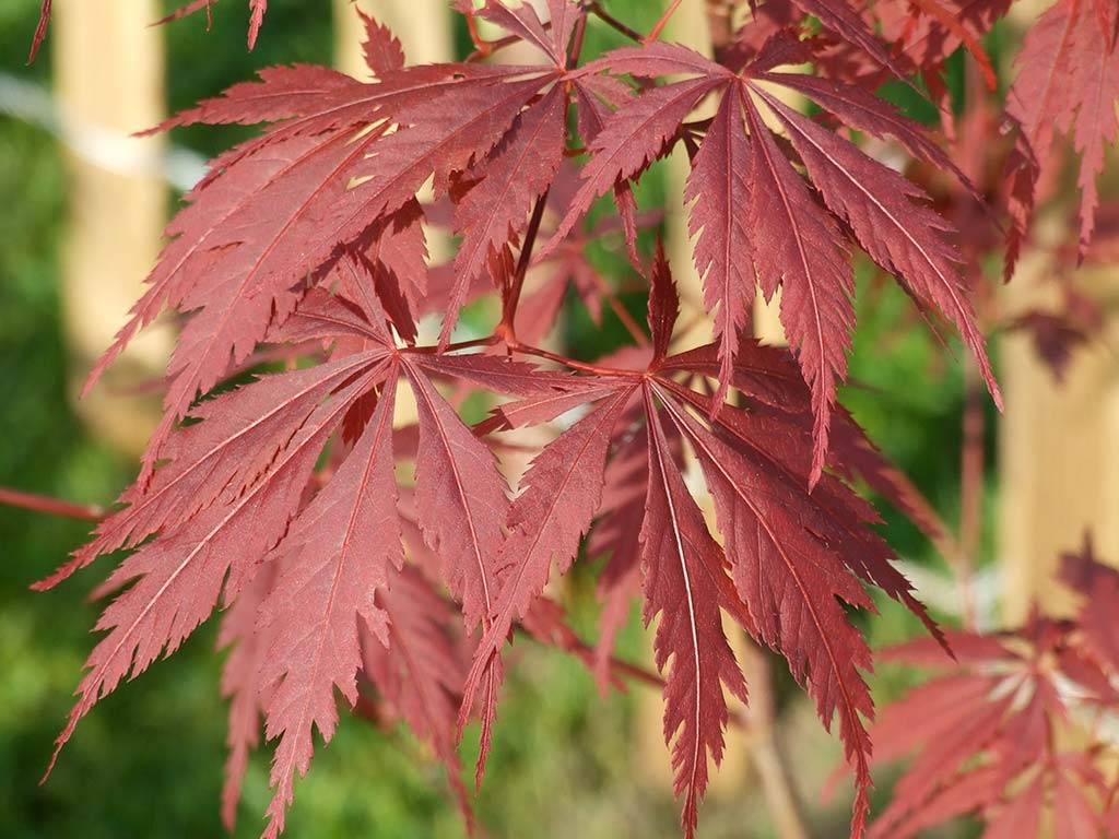 ACER - palmatum - Burgundy Lace