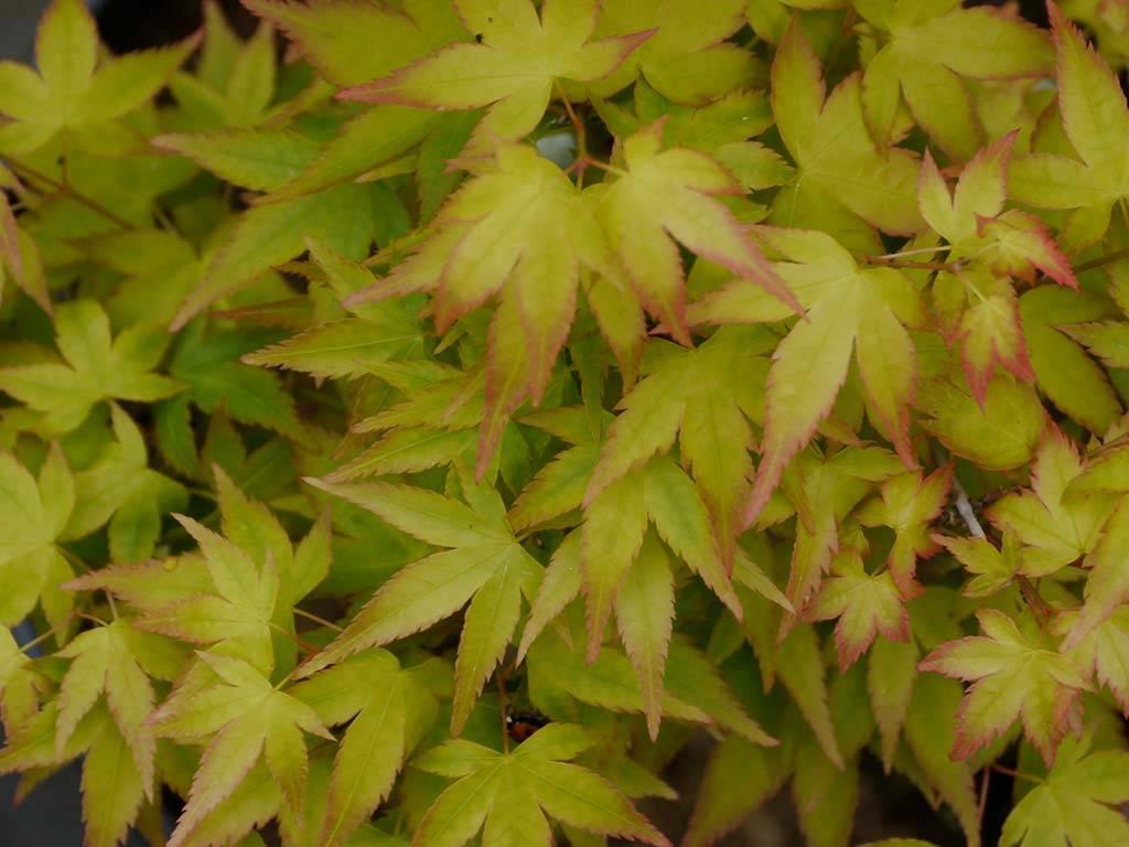ACER - palmatum - Caperci Dwarf