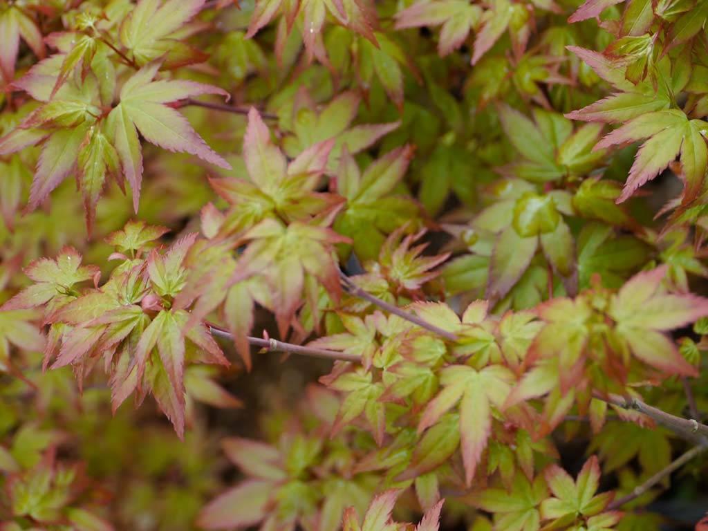 ACER - palmatum - Chiyo hime