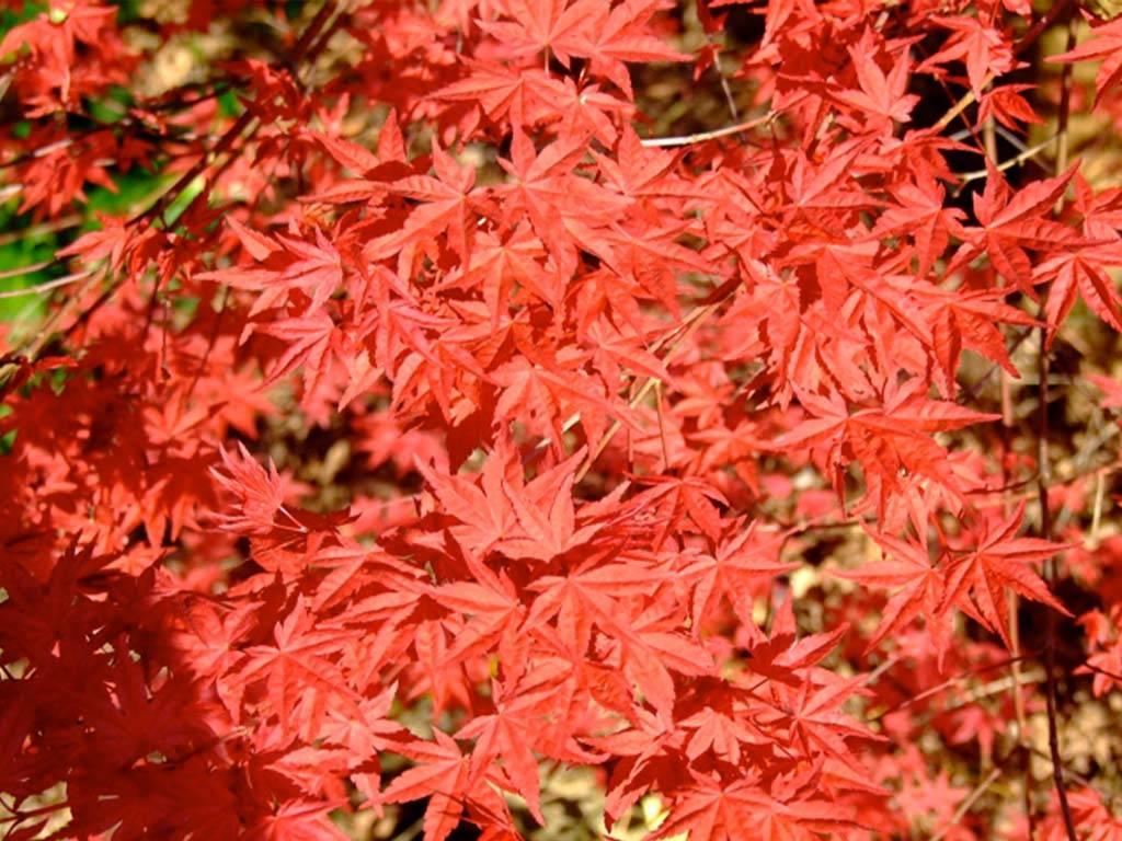 ACER - palmatum - Chishio Improved