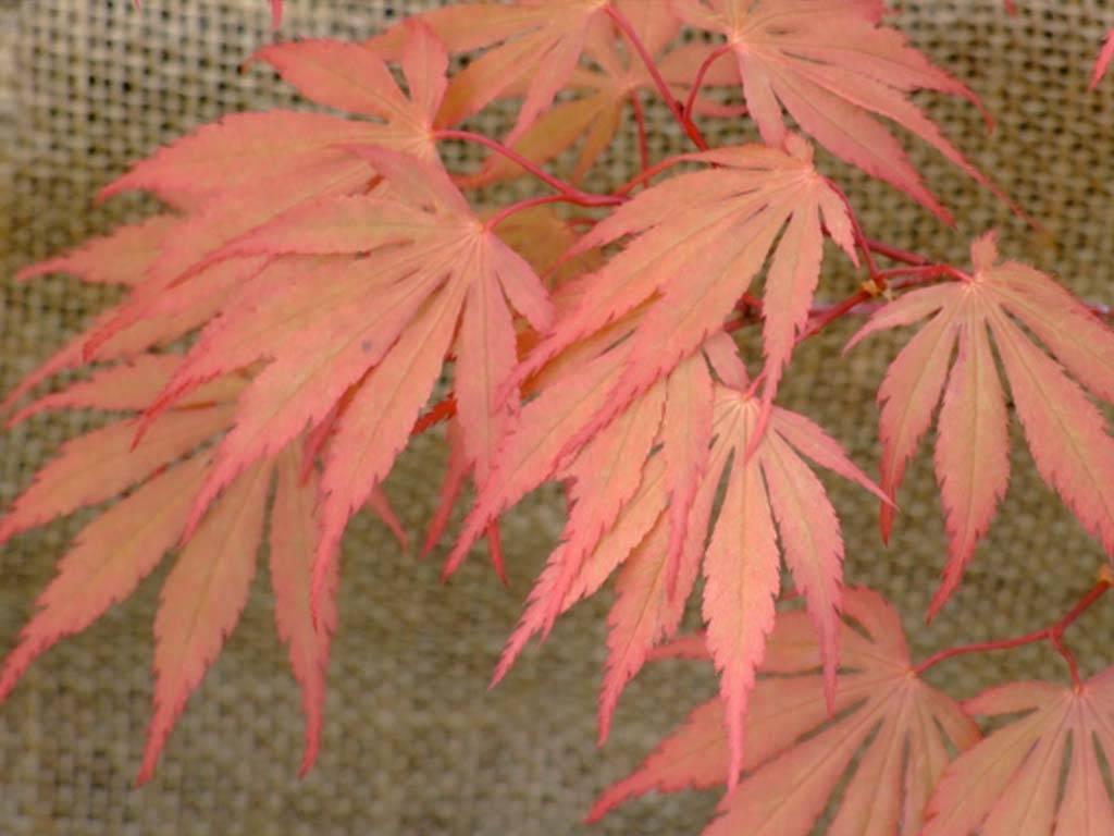 ACER - palmatum - Chitoseyama