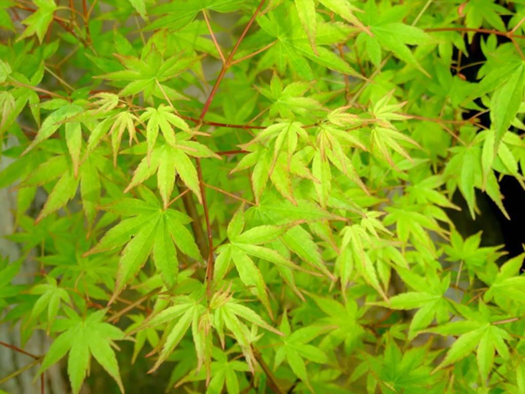 ACER - palmatum - Collingwood Ingram