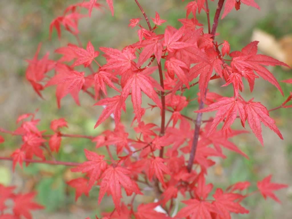 ACER - palmatum - Corallinum (=Carminium)