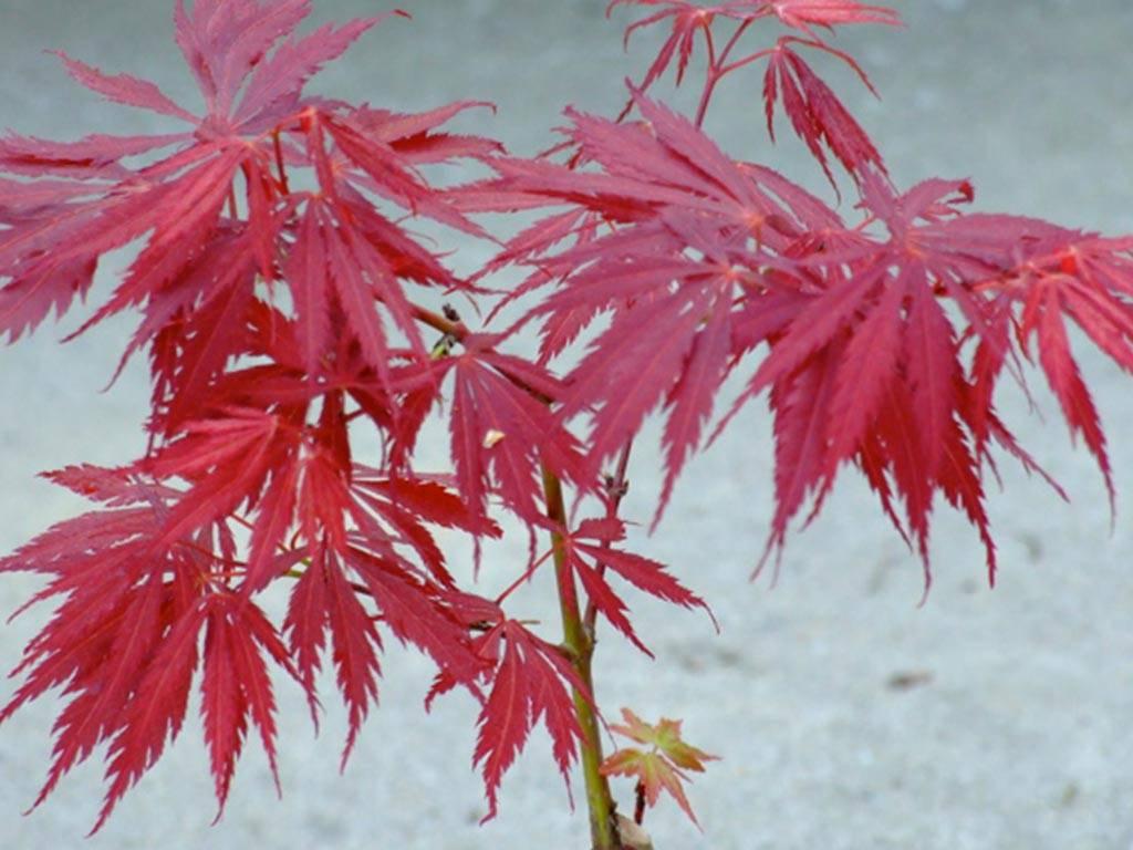 ACER - palmatum - Crimson Carol