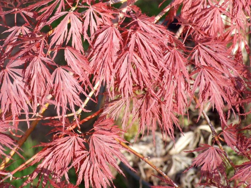 ACER - palmatum - Crimson Queen