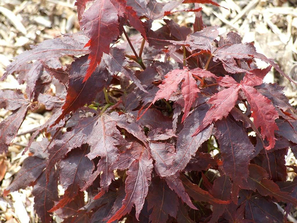 ACER - palmatum - Crumple leaf (= Ruby Ridge)