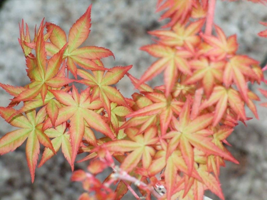 ACER - palmatum - Eddisbury