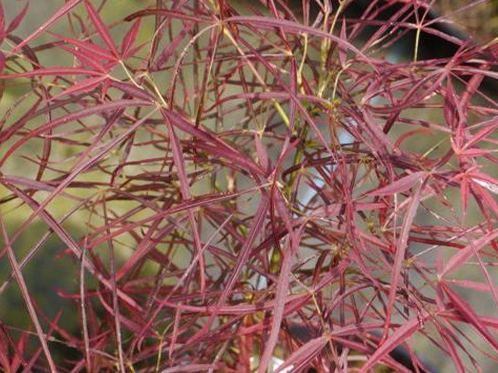 ACER - palmatum - Filifera purpurea