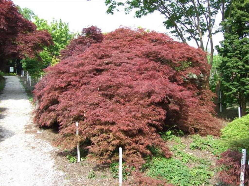 ACER - palmatum - Garnet (tige 80 cm)