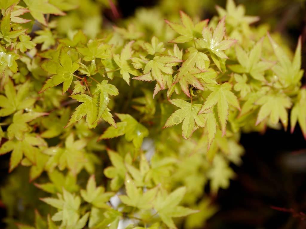 ACER - palmatum - Hamano maru