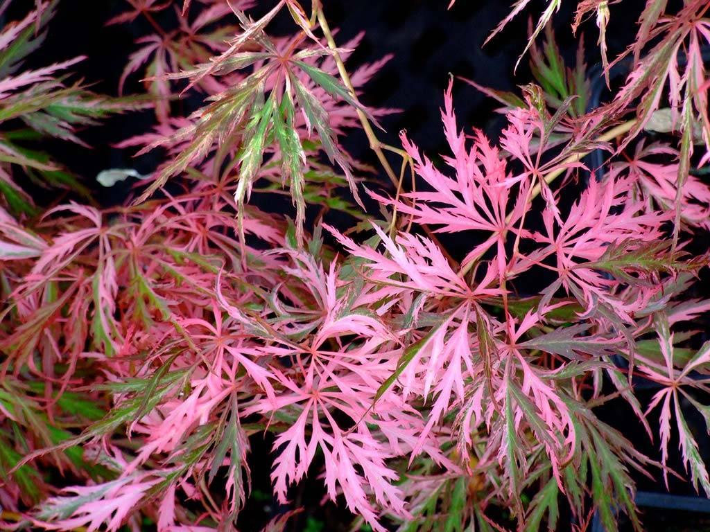 ACER - palmatum - Hana matoi