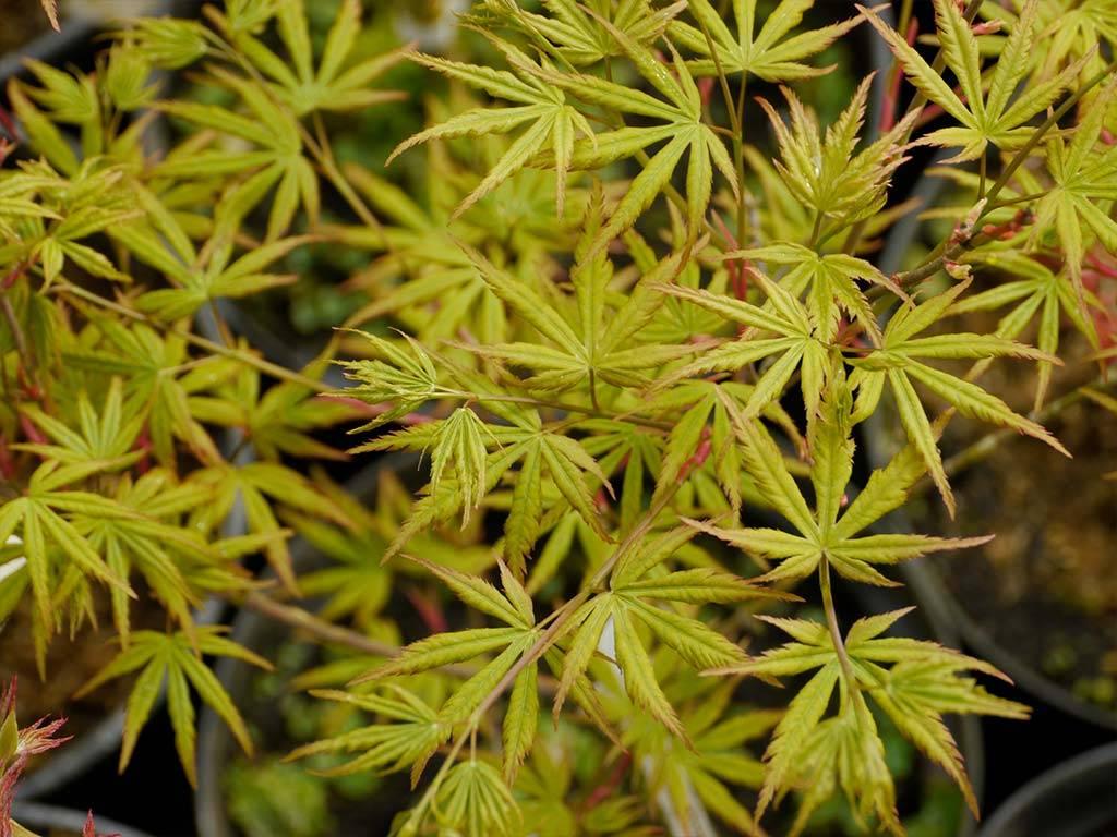 ACER - palmatum - Harusame