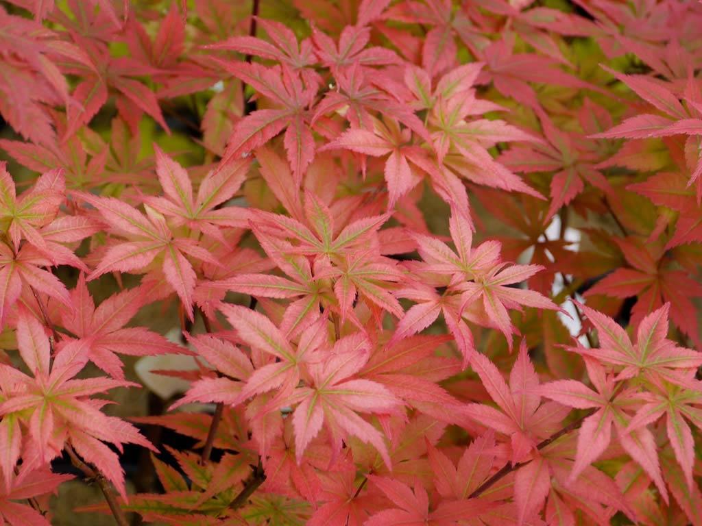 ACER - palmatum - Heguri