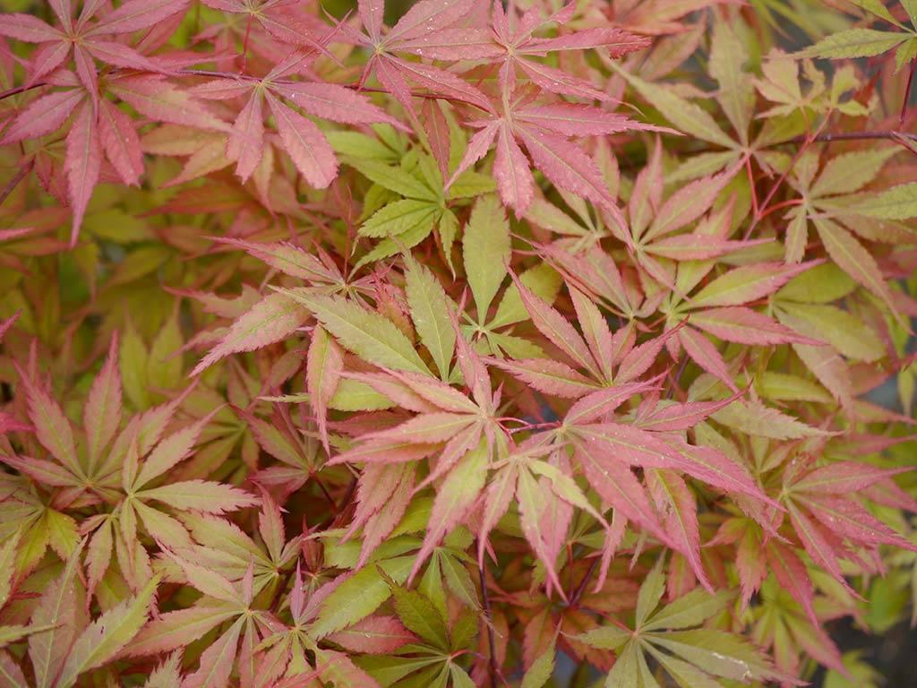 ACER - palmatum - Heiwa
