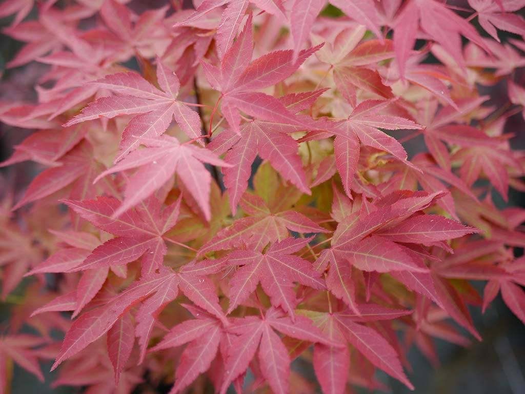 ACER - palmatum - Heisei nishiki