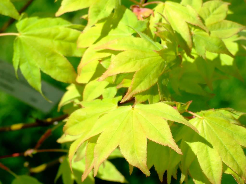 ACER - palmatum - Hogyoku