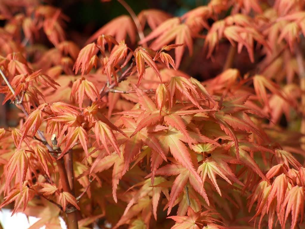 ACER - palmatum - Hino-tori nishiki
