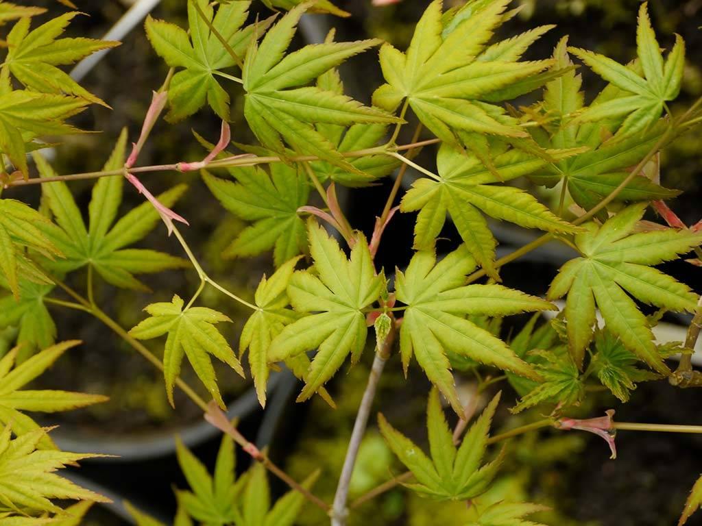 ACER - palmatum - Ibo nishiki