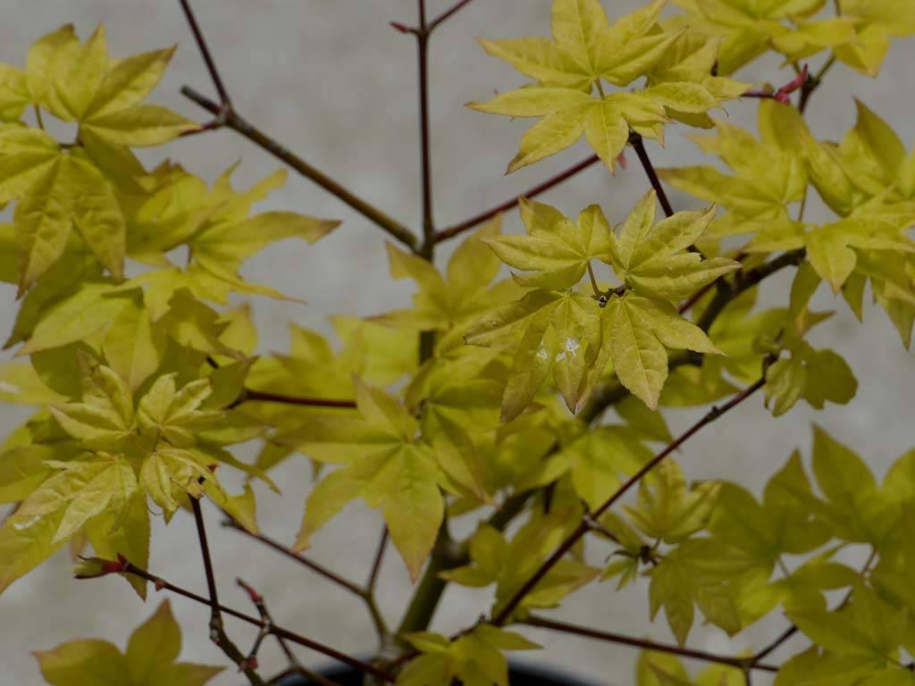 ACER - palmatum - Ichigyo ji