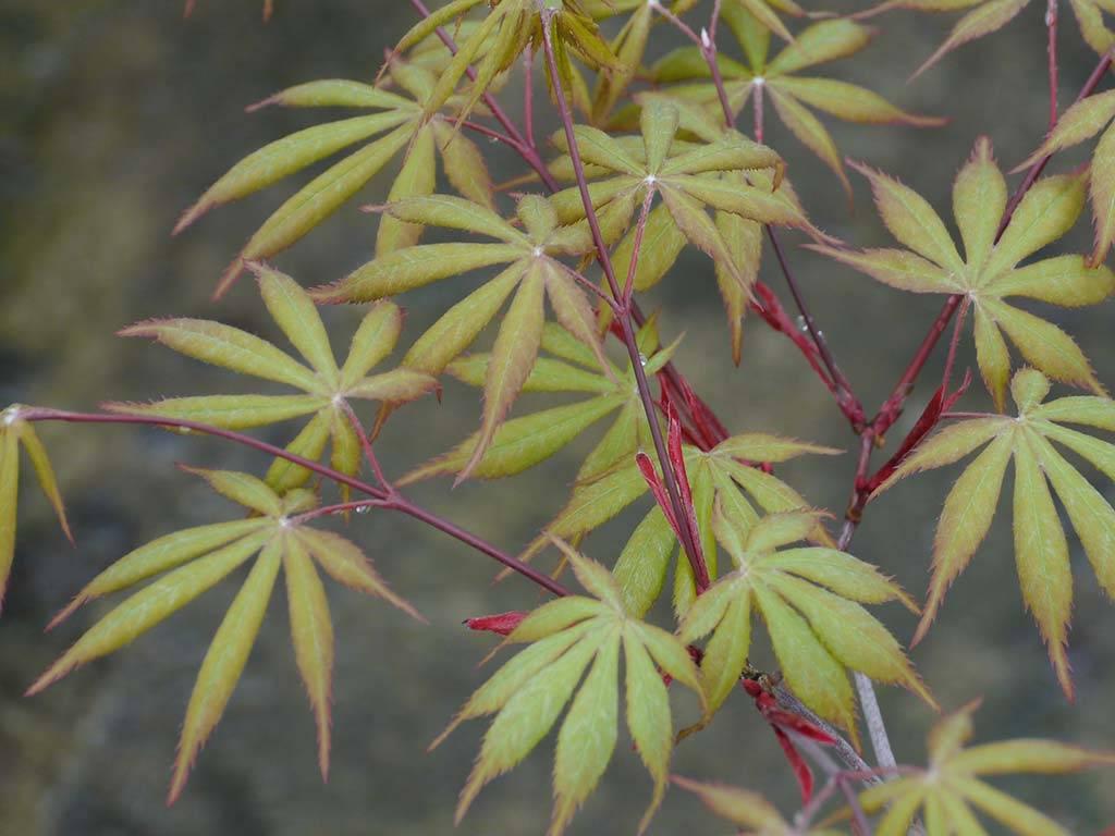 ACER - palmatum - Ima kumano