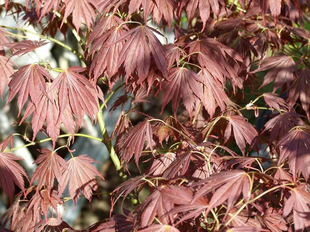 ACER - palmatum - Immoyama