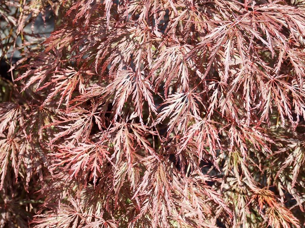 ACER - palmatum - Inaba shidare