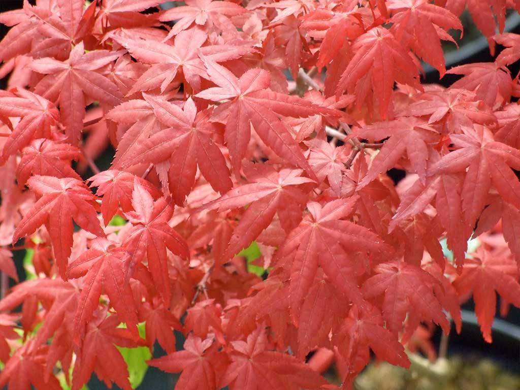 ACER - palmatum - Itami nishiki