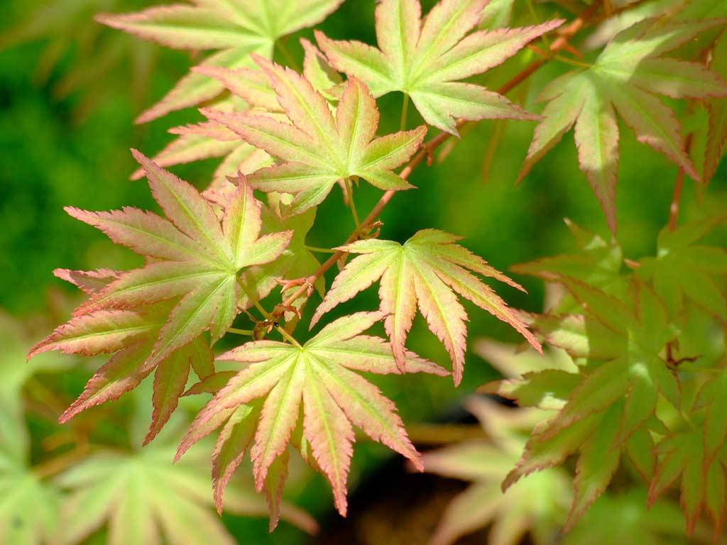 ACER - palmatum - Jiro shidare