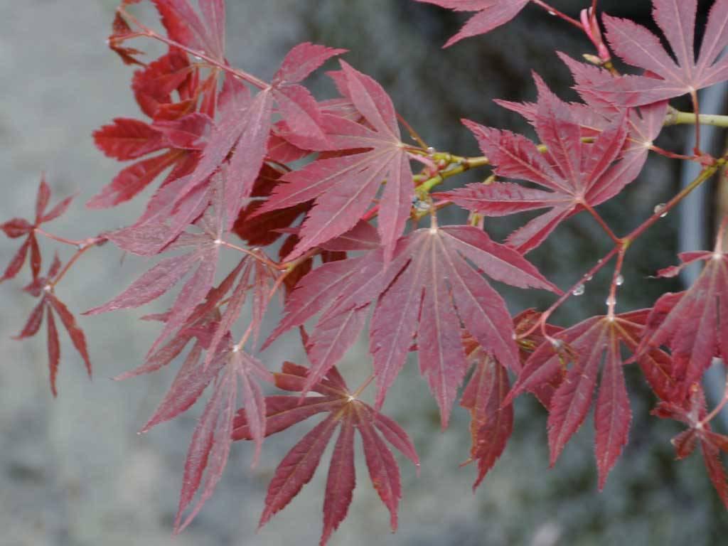 ACER - palmatum - Kaga o Beni